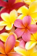 Arrange Posters - Plumeria Flowers Poster by Dana Edmunds - Printscapes