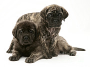 Brindle Photos - Puppies by Jane Burton