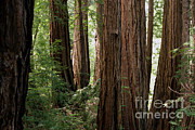 Californian Framed Prints - Redwoods Sequoia Sempervirens Framed Print by Ted Kinsman