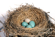North American Wildlife Posters - Robins Nest And Cowbird Egg Poster by Ted Kinsman