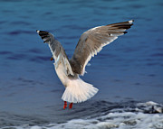 Seagull  Print by Debra  Miller