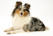 Shetland Sheepdogs Framed Prints - Sheltie Framed Print by Jane Burton