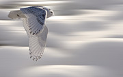 Snowy Digital Art - Snowy Owl in Flight by Mark Duffy