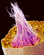Spermatozoon Art - Sperm Production, Sem by Susumu Nishinaga