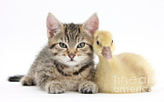 Cuddling Posters - Tabby Kitten With Yellow Gosling Poster by Mark Taylor