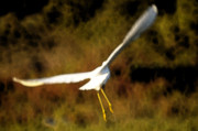Flying Birds Prints - The Egret Print by Marc Bittan