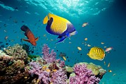 Under Water. Nature Posters - Tropical Reef Fish Poster by Georgette Douwma