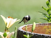Indiana Lily Posters - Black-capped Chickadee Poster by Jack R Brock
