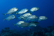 New Britain Posters - A School Of Bigeye Trevally, Papua New Poster by Steve Jones