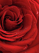 Red Background Prints - Beautiful Red Rose Print by Oleksiy Maksymenko