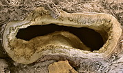 Epithelium Framed Prints - Bile Duct, Sem Framed Print by Steve Gschmeissner