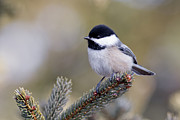 Chickadee Originals - Black Capped Chickadee by Michel Soucy