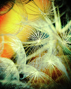Dandelions Photos - Dandelions by Iris Greenwell