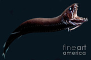 Deep-sea Dragonfish Print by Dant� Fenolio