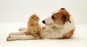Cross Breed Prints - Dog And Kitten Print by Jane Burton