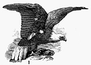 19th Century America Prints - EAGLE, 19th CENTURY Print by Granger