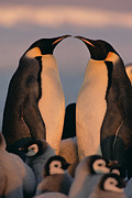 Emoting Framed Prints - Emperor Penguin Aptenodytes Forsteri Framed Print by Konrad Wothe