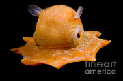 Flapjack Octopus Print by Dante Fenolio