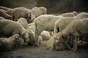 Tuscany Art - Flock Of Sheep by Joana Kruse