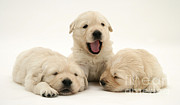 Sleeping Puppies Posters - Golden Retriever Puppies Poster by Jane Burton