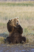 Katmai National Park Prints - Grizzly Bear Ursus Arctos Horribilis Print by Matthias Breiter