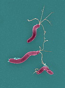 Stomach Cancer Posters - Helicobacter Pylori Bacteria, Sem Poster by
