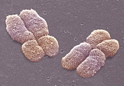 Duplication Posters - Human Chromosomes, Sem Poster by Power And Syred