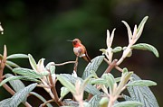 Marsha Thornton - Hummingbird