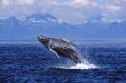 Keywords Framed Prints - Humpback Whale Breaching Framed Print by John Hyde - Printscapes