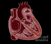 Left Ventricle Prints - Illustration Of Heart Anatomy Print by Science Source