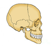Featured Framed Prints - Illustration Of Human Skull Framed Print by Science Source