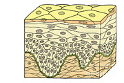 Basement Art Photo Posters - Illustration Of Stratified Squamous Poster by Science Source
