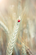 Cornfield Photos - Ladybug on a spike by Sabino Parente