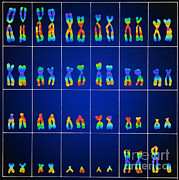 Inheritance Posters - Male Karyotype Poster by Omikron