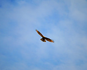 Red Shouldered Hawk In Flight Print by Jai Johnson