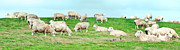 Green Day Art - Sheeps by MotHaiBaPhoto Prints