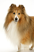 Sable Sheltie Posters - Sheltie Poster by Jane Burton
