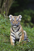 Tiger Photography Prints - Siberian Tiger Panthera Tigris Altaica Print by Konrad Wothe