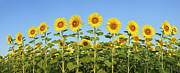Flower Order Posters - Sunflower (helianthus Annuus) Against Blue Sky Poster by Martin Ruegner