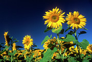 Oil Dome Posters - Sunflowers  Poster by Bernard Jaubert