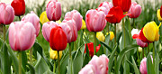University Of Pennsylvania Posters - Tulip Garden University of Pittsburgh  Poster by Thomas R Fletcher