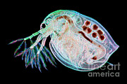 Water Filter Framed Prints - Water Flea Daphnia Magna Framed Print by Ted Kinsman
