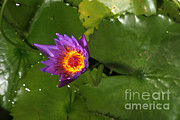 Cape Lily Photos - Waterlily Opening Part Of A Series by Ted Kinsman