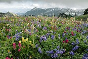 Mazama Framed Prints - Wildflower Meadow Framed Print by Bob Gibbons