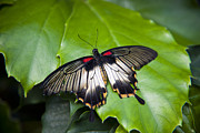 Papilio Memnon Prints - A Butterfly Rests On A Leaf Print by Taylor S. Kennedy