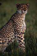 Acinonyx Jubatus Photos - A Portrait Of An African Cheetah by Chris Johns