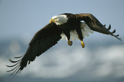 Bald Eagles Prints - An American Bald Eagle In Flight Print by Klaus Nigge