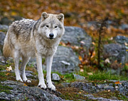 Nature Photograph Posters - Arctic Wolf Poster by Michael Cummings
