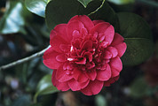 Camellia Japonica Photo Framed Prints - Camellia Flower Framed Print by Adrian Thomas