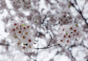 Fine Art - Cherry Blossoms by Robert Ullmann